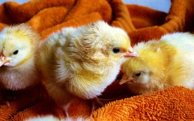Backyard Chickens: Are they right for your family?